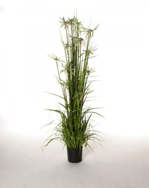 Zyperngras, H 120 cm